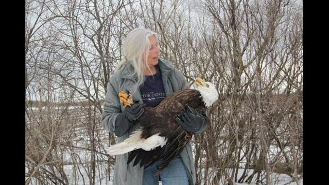 Eagle rescued in Minnesota turns out to be a victim of human pollution