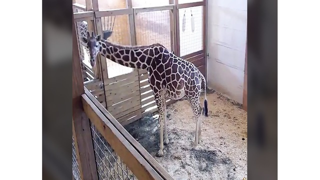 Zoo owner: April the giraffe's baby is 'very independent'